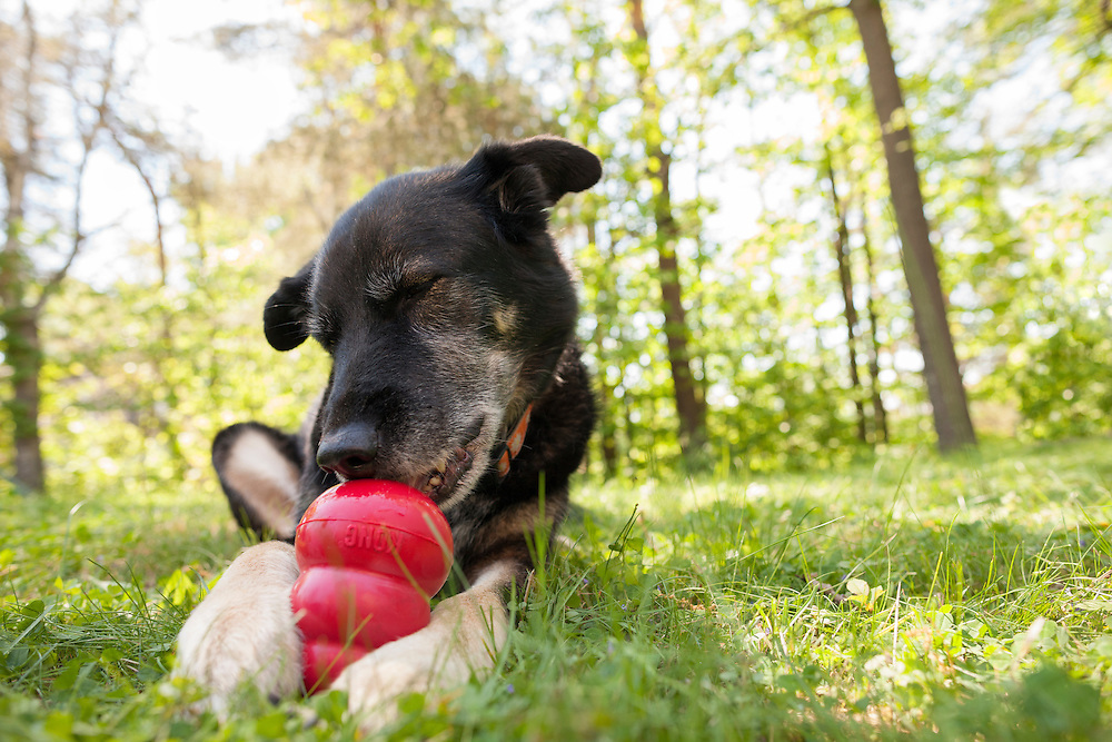 mixed breed dog chewing on a kong outside