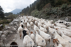 Herd of sheep on the road on day-5  of our Himalayan Heroes adventure riding from Kalopani through the Mustang District to our highest elevation of the trip at over 12,000' when we reached Muktinath, Nepal. Saturday, November 10, 2018. Photography ©2018 Michael Lichter.