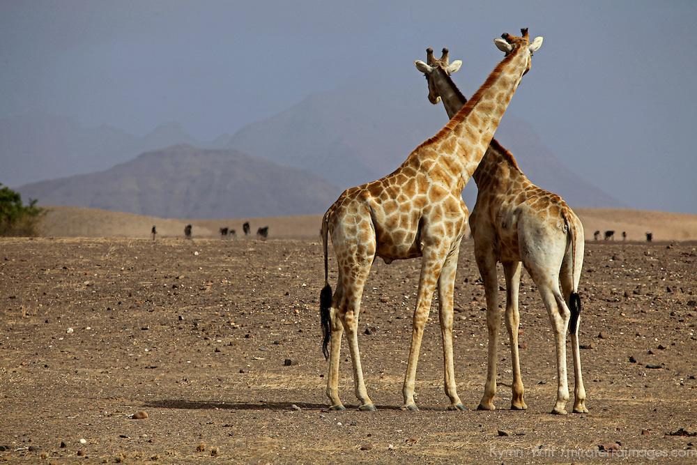 Africa, Namibia, Puros. Namibian giraffes of Kaokoland desert.