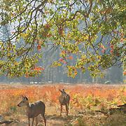 Grazing Deer Under Oak Tree - Yosemite Valley