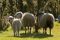 Sheep, (Ovis aries), Matsalu Bay Nature Reserve, Estonia