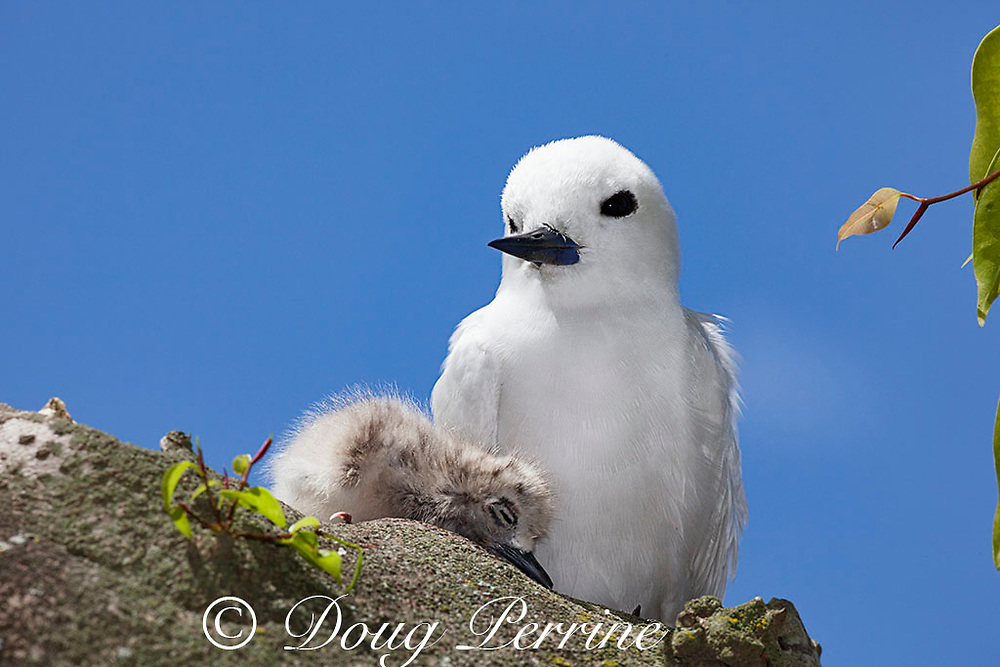 white tern or fairy tern, Gygis alba rothschildi, with chick, Sand Island, Midway, Atoll, Midway Atoll National Wildlife Refuge, Papahanaumokuakea Marine National Monument, Northwest Hawaiian Islands, USA ( Central North Pacific Ocean )