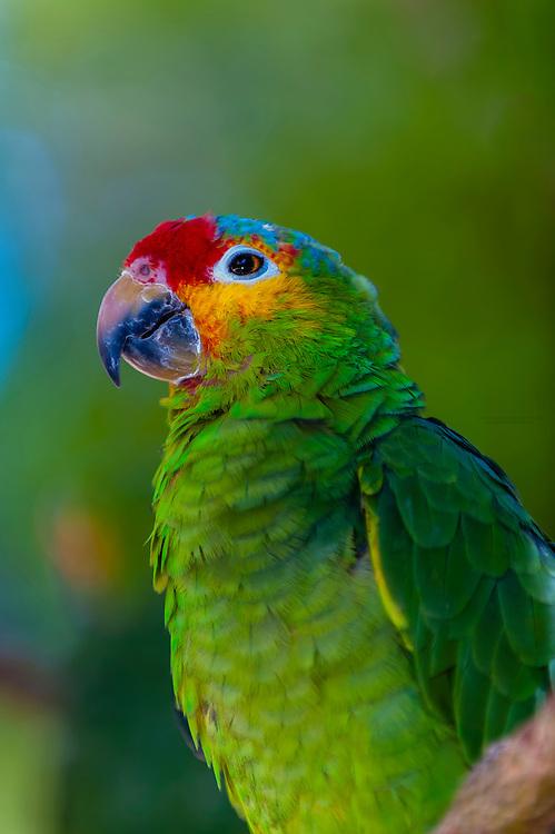 Parrot, Aktun Chen Natural Park, Riviera Maya, Quintana Roo,  Mexico