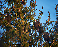 Turkey Vultures in a tree.  Image taken with a Fuji X-T1 camera and 100-400 mm OIS lens (ISO 200, 400 mm, f/5.6, 1/90 sec)