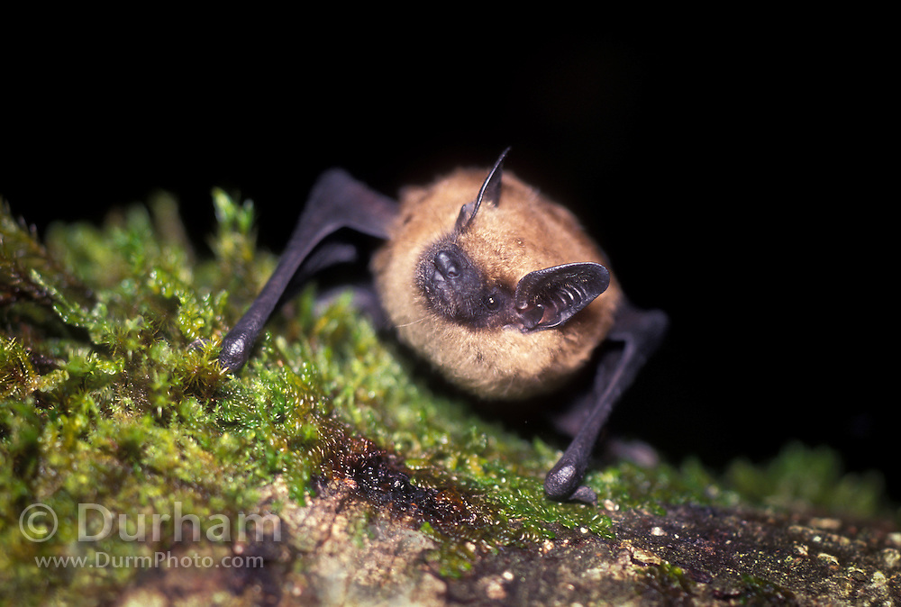 A Big Brown Bat (Eptesicus fuscus) roosting on tree bark. Forest park, NE Oregon.
