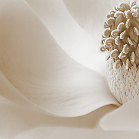 Magnolia with Sepia tone for an elegant look.  Macro or close up shot with beautiful lighting to enhance flower.
