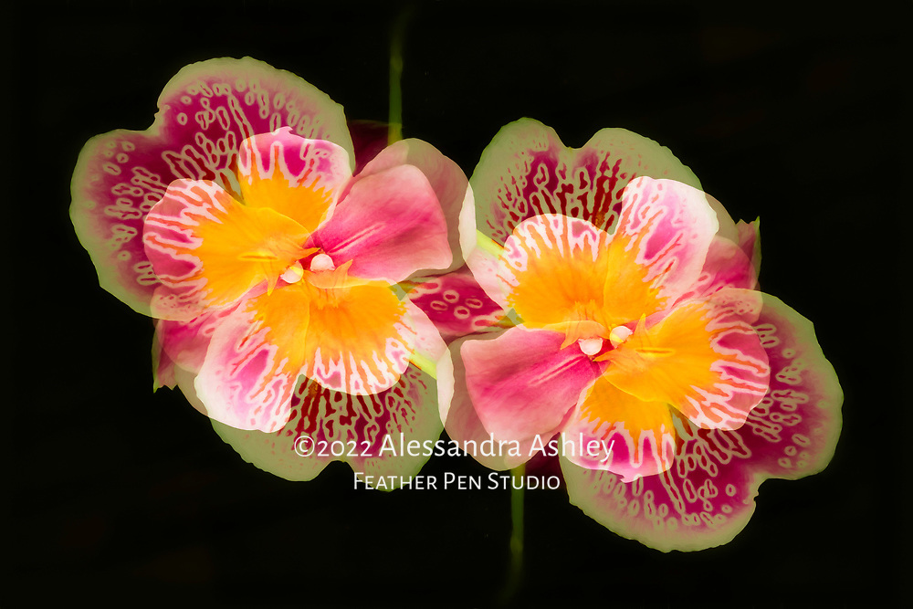 Bright and cheery pansy orchids (Miltonia), dark background. Oil paint effects blended with original photograph. Double exposure montage, red tones.