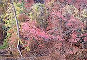 Sirawana Autumn Colors Zion Nat. Park Utah