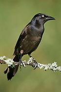 Common Grackle - Quiscalus quiscula - Adult female