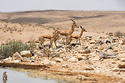A herd of Dorcas Gazelle (Gazella dorcas), also known as the Ariel Gazelle Photographed near a water hole in the Negev Desert, Israel