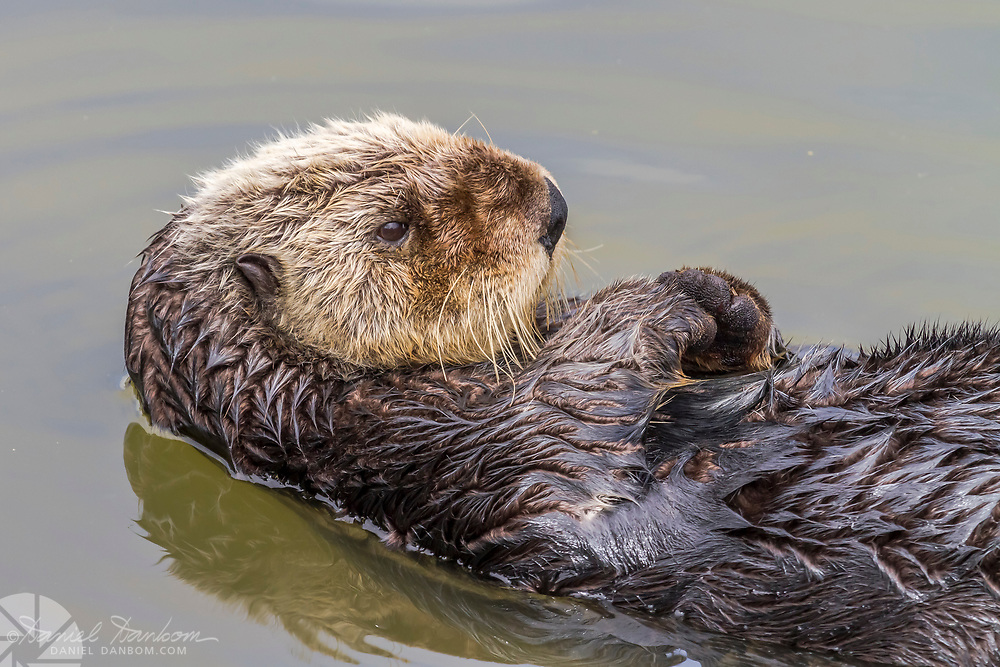 Sea Otter in the harbor at Moss Landing, California, Highway 1