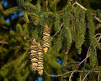 Pine cones in the afternoon sun. Backyard autumn nature in New Jersey. Image taken with a Nikon D2xs camera and 80-400 mm VR lens (ISO 400, 250 mm, f/7, 1/200 sec).