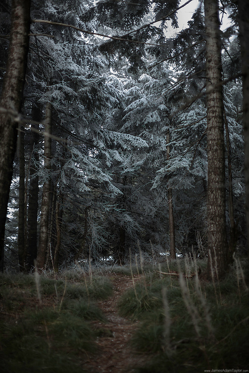 The trail  to the summit of Table Mountian cuts through beargrass; an opening to the sky reveals an ethereal coating of hoar frost on the needles and branches of the Fir trees the dominant species in this forest.