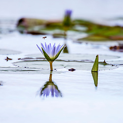 """""""Ninféia-azul (Nymphaea caerulea) fotografado em Linhares, Espírito Santo -  Sudeste do Brasil. Bioma Mata Atlântica. Registro feito em 2014.<br /> <br /> <br /> <br /> ENGLISH: Blue lotus photographed in Linhares, Espírito Santo - Southeast of Brazil. Atlantic Forest Biome. Picture made in 2014."""""""