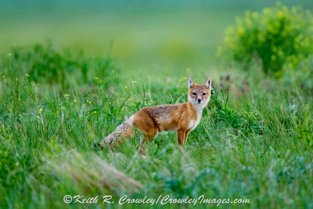 Adult Swift fox (Vulpes velox) in grassland habitat.