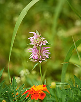 Bee Balm Wildflower. Image taken with a Nikon D5 camera and 200-500 mm f/5.6 lens.