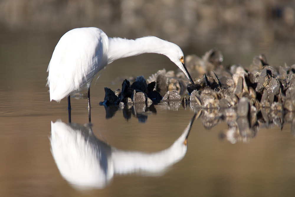 A snowy egret fishes amid oysters on a mud bank in the morning light along a marsh edge in the May River.