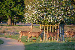 © Licensed to London News Pictures. 26/04/2016. London, UK.  Deer grazing at sunset in Bushy Park, west London on May 16, 2016.   Photo credit: Colin Hart/LNP