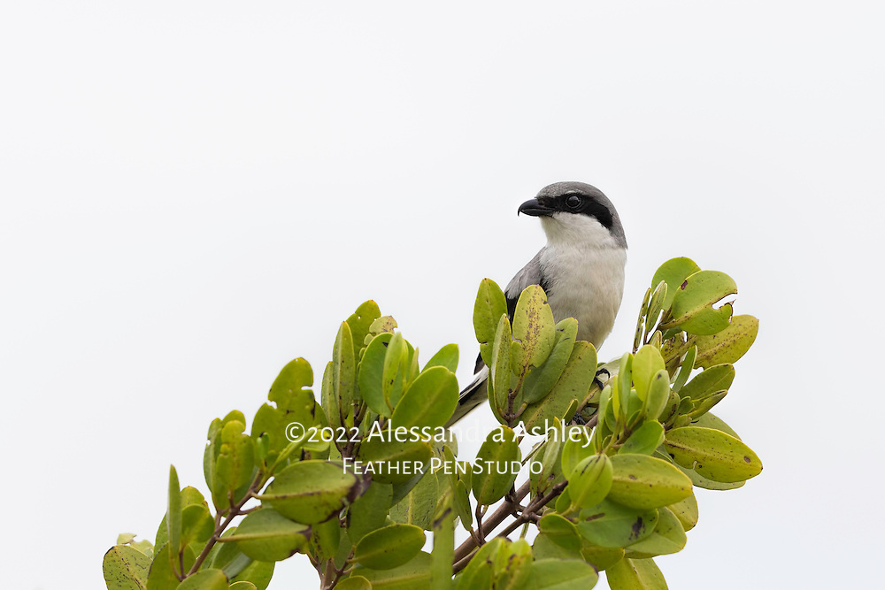 The loggerhead shrike, a songbird with raptor-like habits, can be found sitting on open perches, where it scans for prey.