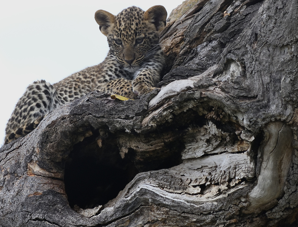 A leopard (Panthera pardus) cub waits near its den in a hollow tree for its mother to return from hunting. Serengeti National Park, Tanzania.