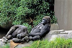 Gorillas, Franklin Park Zoo