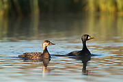 The common scoter (Melanitta nigra) is a large sea duck, 43–54 cm (17–21 in) in length, which breeds over the far north of Europe and Asia east to the Olenyok River.