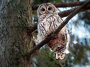 Barred owl in Central Park, NYC