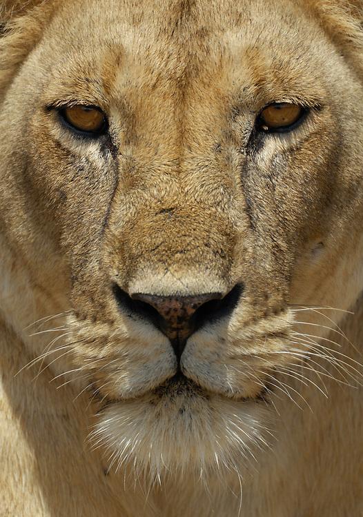 African lion, Panthera leo, Tarangire NP, Tanzania