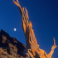 The moon rises over a weather-beaten Bristlecone Pine snag, high in California's White Mountains.