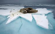 Walrus, Odobenus rosmaris, resting on a ice floe, Svalbard, Norway