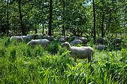 Herd of sheep in the shadow of some trees | Kudde schapen in de schaduw van een paar bomen.