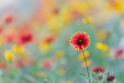 Firewheel and other wildflowers in Hill Country north of Mason, Texas USA.