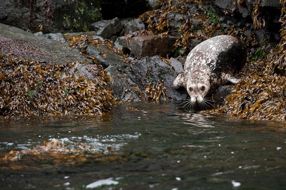 A Harbor Seal, Phoca vitulina, rests on the shoreline of Quadra Island, British Columbia, Canada.