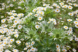 Tanacetum niveum (Silver tansy) with Eryngium giganteum - Miss Willmott's ghost