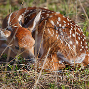 20170525 White Tail Fawns