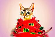 Milady Gaga, Singapura Cat