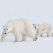 Mother polar bear and her cub at Cape Churchill, Manitoba, Canada.