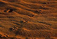 2/2/03  Virginia Beach, Va A bird left prints across the Virginia Beach sand at sunset. (photo by Chris Machian/Chris Machianfor Prarie Pixel Group)