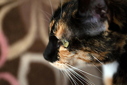 Zelda the cat keeps a close eye on her Oakland, Calif. home, Tuesday, Feb. 2, 2021. (Photo by D. Ross Cameron)