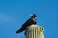 Slightly smaller than other raven species found around the world and about the size of the American crow, this Mexican raven may look like any other raven, but the differences stop there. Most notably, the under-feathers on its neck are pure white. In the dry grasslands of the American Southwest it replaces the common raven (Corvus corax) of the north and breeds in the Southwestern United States, but it is far more common to the south in Mexico where it is found year-round. At northern end of range (eastern Colorado, western Kansas), the Chihuahuan raven is far less common today than in 1800s. I saw this one quite by accident as I was setting up my tent and cooking some dinner on my travels on a small ground fire on top of a hill overlooking Sonoyta, Mexico in Southern Arizona on the US-Mexico border. It got my attention by crowing on top of an almost-flowering saguaro cactus while I was waiting for the water to boil on my camp stove.