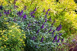 Salvia 'Amistad' (PBR). Sage