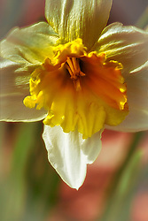A macro detailed shot of a Daffodil in bloom as morning sunlight shines across the petals