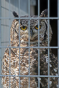 A bird of prey ( Eagle Owl) behind bars in the aviary at HMP Downview.