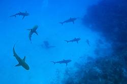 Caribbean Reef Sharks, Carcharhinus perezi, and diver, West End, Grand Bahamas, Atlantic Ocean