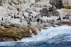 Spheniscus demersus, Brillenpinguine,  African penguins or Jackass penguin or black-footed penguins, Porth Elizabeth, Insel St Croix, Suedafrika, Indischer Ocean, Algoa Bay, South Africa, Porth Elisabeth, St Croix Island, Indian Ocean