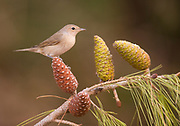 Garden Warbler (Sylvia borin) wintering in Israel. Photographed perched on a pine tree branch at the Ein Afek nature reserve, Israel