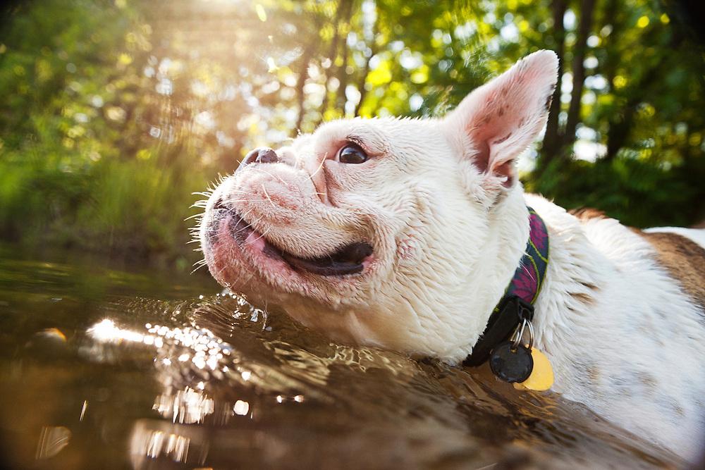 Bulldog mix swimming