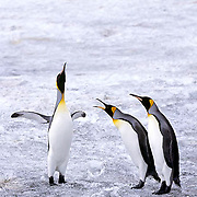 King Penguin, (Aptenodytes p.patagonica) Pair of adults. St. Andrews Bay.South Georgia Island.
