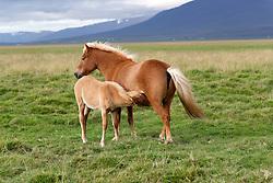 Equus ferus caballus, Island Pferde, Stute mit saugendem Fohlen, Icelandic horses, mare with suckling foal, Nord Island, North Island