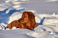 Golden retriever in snow,  Gabriola , British Columbia, Canada